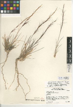 (Aristida purpurea var. fendleriana - CCDB-24954-B07)  @11 [ ] CreativeCommons - Attribution Non-Commercial Share-Alike (2015) SDNHM San Diego Natural History Museum