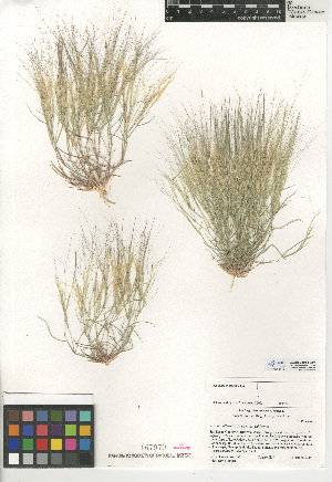 (Aristida californica - CCDB-24954-C07)  @11 [ ] CreativeCommons - Attribution Non-Commercial Share-Alike (2015) SDNHM San Diego Natural History Museum