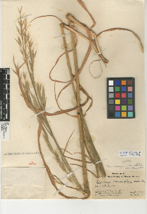 (Bromus arizonicus - CCDB-24954-C10)  @11 [ ] CreativeCommons - Attribution Non-Commercial Share-Alike (2015) SDNHM San Diego Natural History Museum