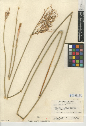 (Juncus textilis - CCDB-24954-D01)  @11 [ ] CreativeCommons - Attribution Non-Commercial Share-Alike (2015) SDNHM San Diego Natural History Museum