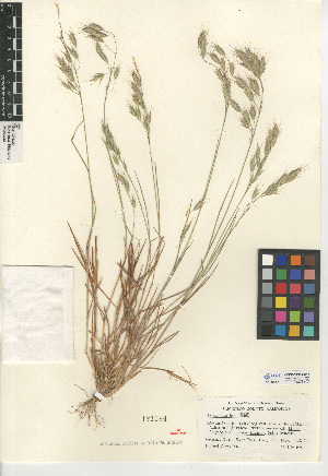 (Bromus japonicus - CCDB-24954-D11)  @11 [ ] CreativeCommons - Attribution Non-Commercial Share-Alike (2015) SDNHM San Diego Natural History Museum