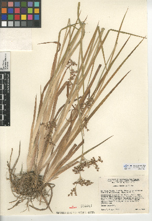 (Juncus xiphioides - CCDB-24954-G02)  @11 [ ] CreativeCommons - Attribution Non-Commercial Share-Alike (2015) SDNHM San Diego Natural History Museum