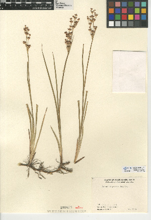 (Juncus oxymeris - CCDB-24954-H01)  @11 [ ] CreativeCommons - Attribution Non-Commercial Share-Alike (2015) SDNHM San Diego Natural History Museum