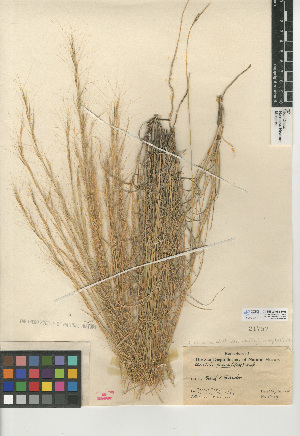 (Aristida purpurea var. nealleyi - CCDB-24954-H08)  @11 [ ] CreativeCommons - Attribution Non-Commercial Share-Alike (2015) SDNHM San Diego Natural History Museum