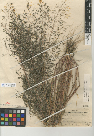 (Eragrostis - CCDB-24955-G07)  @11 [ ] CreativeCommons - Attribution Non-Commercial Share-Alike (2015) SDNHM San Diego Natural History Museum