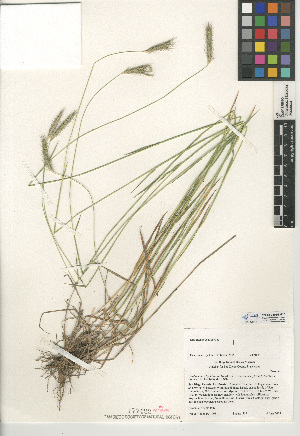 (Hordeum brachyantherum subsp. californicum - CCDB-24955-H10)  @11 [ ] CreativeCommons - Attribution Non-Commercial Share-Alike (2015) SDNHM San Diego Natural History Museum