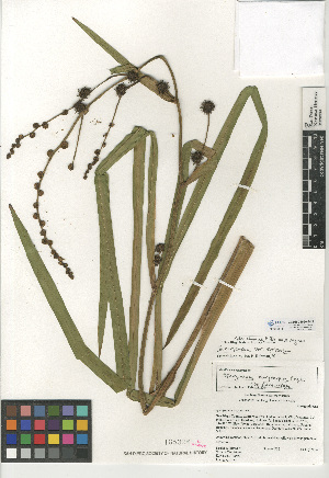 (Sparganium eurycarpum var. eurycarpum - CCDB-24956-B12)  @11 [ ] CreativeCommons - Attribution Non-Commercial Share-Alike (2015) SDNHM San Diego Natural History Museum