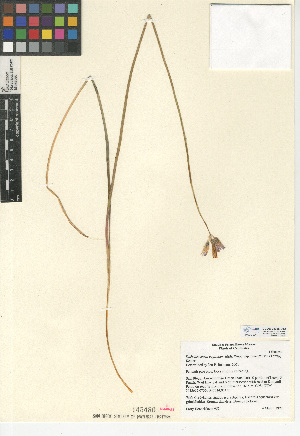 (Dichelostemma - CCDB-24956-D12)  @11 [ ] CreativeCommons - Attribution Non-Commercial Share-Alike (2015) SDNHM San Diego Natural History Museum