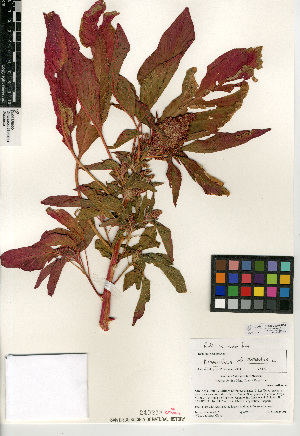 (Amaranthus cruentus - CCDB-24957-B04)  @11 [ ] CreativeCommons - Attribution Non-Commercial Share-Alike (2015) SDNHM San Diego Natural History Museum
