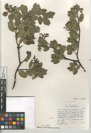 (Arctostaphylos glandulosa subsp. crassifolia - CCDB-24962-D02)  @11 [ ] CreativeCommons - Attribution Non-Commercial Share-Alike (2015) SDNHM San Diego Natural History Museum