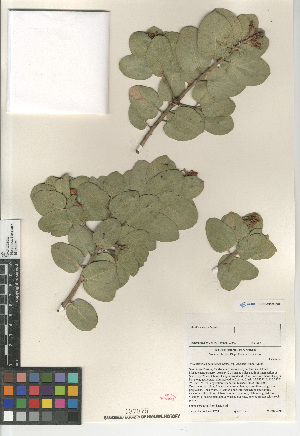 (Arctostaphylos glandulosa ssp. adamsii - CCDB-24962-E02)  @11 [ ] CreativeCommons - Attribution Non-Commercial Share-Alike (2015) SDNHM San Diego Natural History Museum