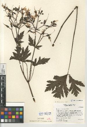 (Geranium palmatum - CCDB-24962-E09)  @11 [ ] CreativeCommons - Attribution Non-Commercial Share-Alike (2015) SDNHM San Diego Natural History Museum