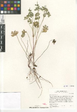 (Geranium carolinianum - CCDB-24962-F09)  @11 [ ] CreativeCommons - Attribution Non-Commercial Share-Alike (2015) SDNHM San Diego Natural History Museum