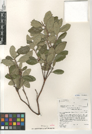 (Comarostaphylis diversifolia subsp. planifolia - CCDB-24962-H03)  @11 [ ] CreativeCommons - Attribution Non-Commercial Share-Alike (2015) SDNHM San Diego Natural History Museum