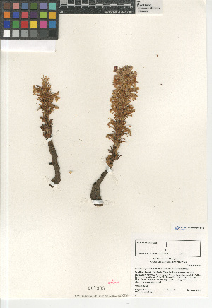 (Orobanche parishii subsp. brachyloba - CCDB-24962-H12)  @11 [ ] CreativeCommons - Attribution Non-Commercial Share-Alike (2015) SDNHM San Diego Natural History Museum