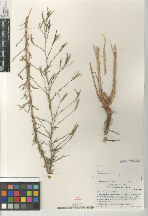 (Epilobium brachycarpum - CCDB-24963-G07)  @11 [ ] CreativeCommons - Attribution Non-Commercial Share-Alike (2015) SDNHM San Diego Natural History Museum