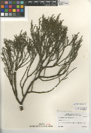 (Phoradendron juniperinum - CCDB-24964-H01)  @11 [ ] CreativeCommons - Attribution Non-Commercial Share-Alike (2015) SDNHM San Diego Natural History Museum