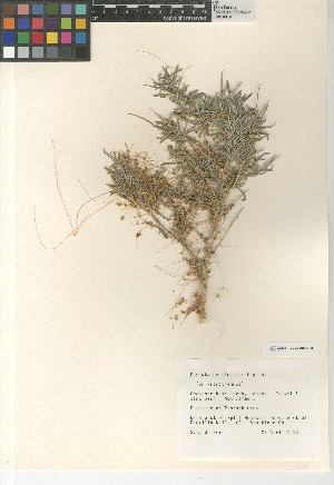 (Cuscuta denticulata - CCDB-24964-H06)  @11 [ ] CreativeCommons - Attribution Non-Commercial Share-Alike (2015) SDNHM San Diego Natural History Museum