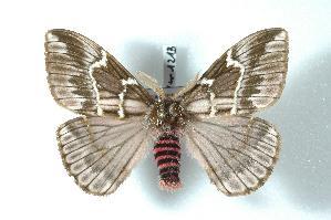 (Paradirphia - BC-Her1213)  @16 [ ] Copyright (2010) Daniel Herbin Research Collection of Daniel Herbin