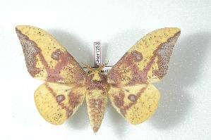 (Eacles imperialis - BC-Her1253)  @15 [ ] Copyright (2010) Unspecified Research Collection of Daniel Herbin