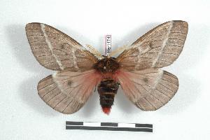 (Manodirphia - BC-Her1174)  @14 [ ] Copyright (2010) Daniel Herbin Research Collection of Daniel Herbin