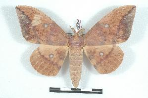 (Eacles imperialis quintanensis - BC-Her1366)  @15 [ ] Copyright (2010) Unspecified Research Collection of Daniel Herbin