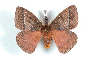 (Hispaniodirphia - BC-Her1576)  @15 [ ] Copyright (2010) Daniel Herbin Research Collection of Daniel Herbin