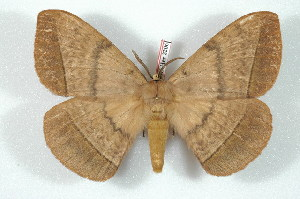(Eupterotidae - BC-Her2206)  @15 [ ] Copyright (2010) Daniel Herbin Research Collection of Daniel Herbin