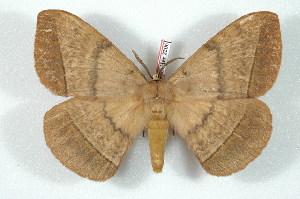 (Eupterotinae - BC-Her2206)  @15 [ ] Copyright (2010) Daniel Herbin Research Collection of Daniel Herbin