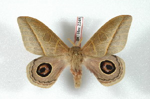 (Leucanella - BC-Her2248)  @15 [ ] Copyright (2010) Daniel Herbin Research Collection of Daniel Herbin