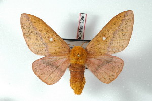 (Anisota punctata - BC-Her2380)  @14 [ ] Copyright (2010) Unspecified Research Collection of Daniel Herbin