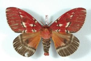 (Rhodirphia - BC-Her3398)  @15 [ ] Copyright (2010) Daniel Herbin Research Collection of Daniel Herbin
