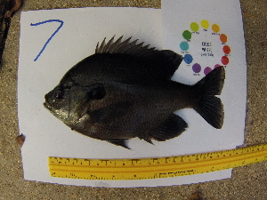 (Lepomis macrochirus - 14_schs_Am_Fish7)  @14 [ ] CreativeCommons - Attribution Share-Alike (2015) Unspecified St. Clair High School