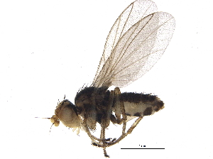 (Agromyzidae - BIOUG16318-A10)  @15 [ ] CreativeCommons - Attribution Non-Commercial Share-Alike (2014) BIO Photography Group Biodiversity Institute of Ontario
