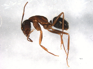 (Camponotus dumetorum - BIOUG08781-C10)  @14 [ ] CreativeCommons - Attribution Non-Commercial Share-Alike (2014) BIO Photography Group Biodiversity Institute of Ontario