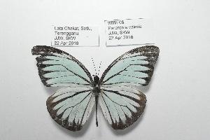 (Pareronia valeria - WWF06)  @11 [ ] CreativeCommons- Attribution Non-Commercial No Derivatives (2016) JJW Museum of Zoology, University of Malaya