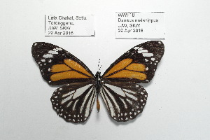 (Danaus melanippus - WWF18)  @13 [ ] CreativeCommons - Attribution Non-Commercial No Derivatives (2016) JJW Museum of Zoology, University of Malaya