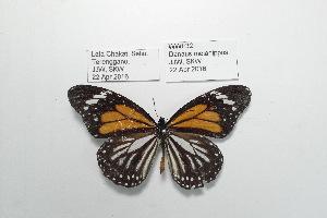 (Danaus melanippus - WWF32)  @11 [ ] CreativeCommons- Attribution Non-Commercial No Derivatives (2016) JJW Museum of Zoology, University of Malaya