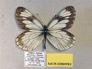 (Aporia acraea wolongensis - AACR-CHSWB2)  @14 [ ] CreativeCommons - Attribution Non-Commercial Share-Alike (2012) Unspecified ZEB
