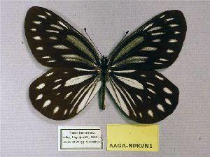 (Aporia agathon agathon - AAGA-NPKVN1)  @11 [ ] CreativeCommons - Attribution Non-Commercial Share-Alike (2012) Unspecified ZEB