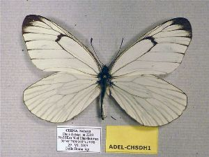 (Aporia delavayi - ADEL-CHSDH1)  @13 [ ] CreativeCommons - Attribution Non-Commercial Share-Alike (2012) Unspecified ZEB