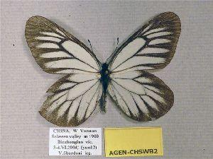 (Aporia genestieri genestieri - AGEN-CHSWB2)  @13 [ ] CreativeCommons - Attribution Non-Commercial Share-Alike (2012) Unspecified ZEB