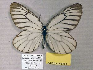 (Aporia genestieri genestieroides - AGEN-CHYSL1)  @14 [ ] CreativeCommons - Attribution Non-Commercial Share-Alike (2012) Unspecified ZEB