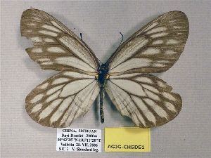 (Aporia gigantea - AGIG-CHSDS1)  @14 [ ] CreativeCommons - Attribution Non-Commercial Share-Alike (2012) Unspecified ZEB
