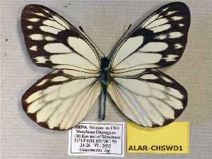 (Aporia larraldei shizouyai - ALAR-CHSWD1)  @13 [ ] CreativeCommons - Attribution Non-Commercial Share-Alike (2012) Unspecified ZEB