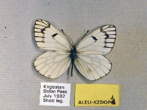 (Aporia leucodice - ALEU-KZDOP1)  @14 [ ] CreativeCommons - Attribution Non-Commercial Share-Alike (2012) Unspecified ZEB