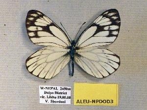 (Aporia leucodice/soracta - ALEU-NPDOD3)  @13 [ ] CreativeCommons - Attribution Non-Commercial Share-Alike (2012) Unspecified ZEB
