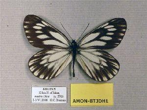 (Aporia monbeigi - AMON-BTJDH1)  @12 [ ] CreativeCommons - Attribution Non-Commercial Share-Alike (2012) Unspecified ZEB