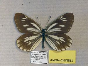 (Aporia monbeigi meilliensis - AMON-CHYME1)  @11 [ ] CreativeCommons - Attribution Non-Commercial Share-Alike (2012) Unspecified ZEB