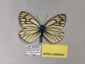 (Aporia procris - APRO-CHSKN1)  @13 [ ] CreativeCommons - Attribution Non-Commercial Share-Alike (2012) Unspecified ZEB